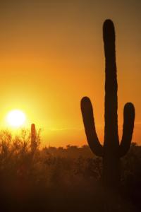 cactus at sunset - 526116097